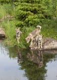 与清楚的湖反射的三只狼小狗 免版税库存图片