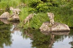 与清楚的湖反射的三只狼小狗 免版税库存照片