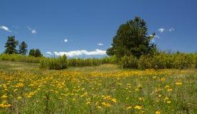 与清楚的蓝天的科罗拉多野花 库存照片