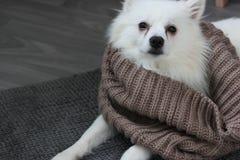 与温暖的围巾的白色狗 免版税库存图片