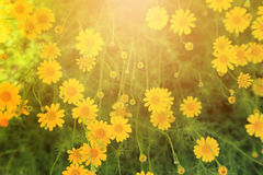 与温暖的轻的火光的黄色花田背景的 免版税库存照片