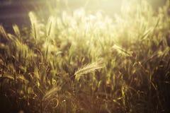与温暖的阴霾的由后面照的大麦领域 免版税图库摄影