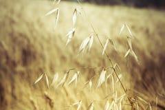 与温暖的阴霾的由后面照的葡萄酒燕麦领域 库存照片