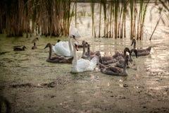 与游泳在池塘的父母的小天鹅 免版税库存照片