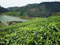 与湖的茶庄园 免版税图库摄影
