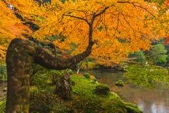 与湖的黄色槭树在京都秋天 库存图片