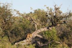 与湿幼狮的下落的树 库存照片