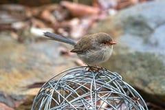 与湿羽毛的栖息逗人喜爱的矮小的雄伟神仙的鹪鹩的鸟  图库摄影