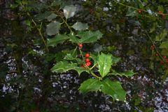 与溶解的雪的霍莉在它和红色莓果 库存图片