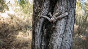 与滑稽的分支形成的树干 免版税库存照片