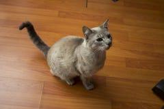 与滑稽的大鼻子的小的灰色猫 免版税库存图片