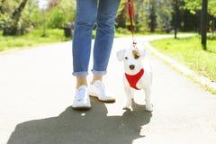 与滑稽的棕色污点的幼小小品种狗在面孔 逗人喜爱的愉快的起重器罗素狗小狗画象户外,步行在公园 库存照片