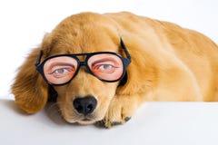 与滑稽的玻璃的小狗 免版税库存照片