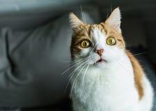与滑稽的表示的红色和白色猫 免版税库存照片