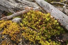 与漂流木头日志的肥沃头发盖帽青苔, Flagstaff湖,缅因 库存图片