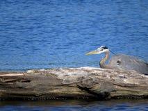 与漂流木头的伟大蓝色的苍鹭的巢 图库摄影
