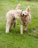与演奏取指令的长卷毛狗的愉快的金黄Retreiver狗尾随宠物 免版税图库摄影