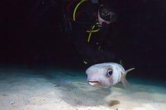 与潜水员在晚上下潜期间,古巴的Pufferfish 库存图片