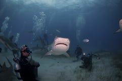 与潜水者的虎鲨 库存照片