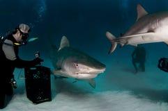 与潜水者的虎鲨 库存图片