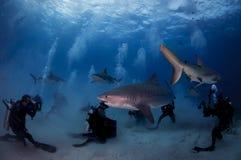 与潜水者的虎鲨 图库摄影