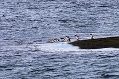 与潜水队列的一只企鹅  库存照片