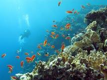 与潜水者和异乎寻常的鱼anthias的珊瑚礁在热带海底部大海背景的 免版税库存图片
