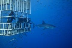与潜水者的大白鲨鱼 库存照片