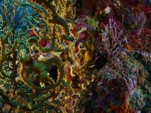 与潜水者的软的珊瑚 库存照片