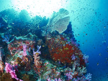 与潜水者的软的珊瑚 免版税库存照片