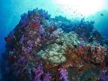 与潜水者的软的珊瑚 库存图片