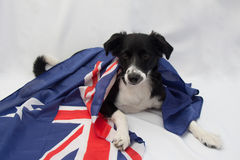 与澳大利亚旗子的足球狗 免版税库存图片