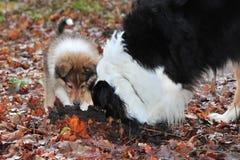 与澳大利亚牧羊人的小大牧羊犬 免版税库存照片