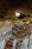 与瀑布的鸟 白红喉刺莺的浸染工, Cinclus cinclus,水潜水者,与白色喉头的棕色鸟在河,在的瀑布 库存照片