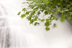 与瀑布的鸡爪枫 库存图片