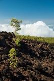 与火山的土壤在泰德峰国家公园-特内里费岛,加那利群岛的杉树 免版税图库摄影