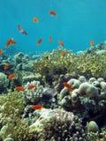与火珊瑚和异乎寻常的鱼anthias的珊瑚礁在热带海底部  免版税库存图片