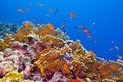 与火珊瑚的珊瑚礁和在热带海底部的异乎寻常的鱼  免版税库存照片