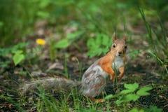 与灰发的后面的红松鼠 库存照片
