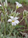 与灰色条纹的美丽的矮小的白花 库存照片