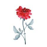 与灰色的一朵典雅的大红色玫瑰在白色背景离开 水彩 库存照片
