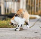 与灰色的聪明的蓬松自创红色猫戏剧捉住了一只鼠跳跃 免版税图库摄影