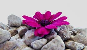与灰色石头的一朵紫色海角延命菊雏菊 免版税图库摄影