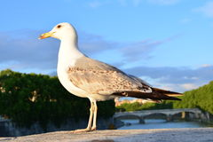 与灰色翼的美丽的白色海鸥基于Ponte Sant'Angelo桥梁栏杆在罗马 免版税库存照片