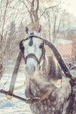 与灰色鬃毛的起斑纹灰色马在鞔具 免版税库存图片