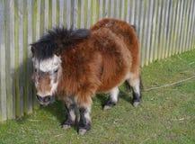 与灰色头发和一张温暖的毛皮的一个年迈的小马 免版税库存图片