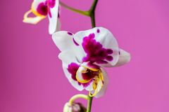 与灵魂的桃红色兰花花 库存图片