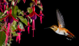 与热带强壮的紫红色的花的蜂鸟在黑backg 图库摄影