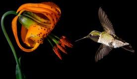 与热带百合花的蜂鸟在黑背景 库存图片