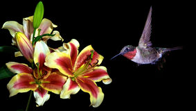 与热带百合花的蜂鸟在黑背景 免版税库存图片